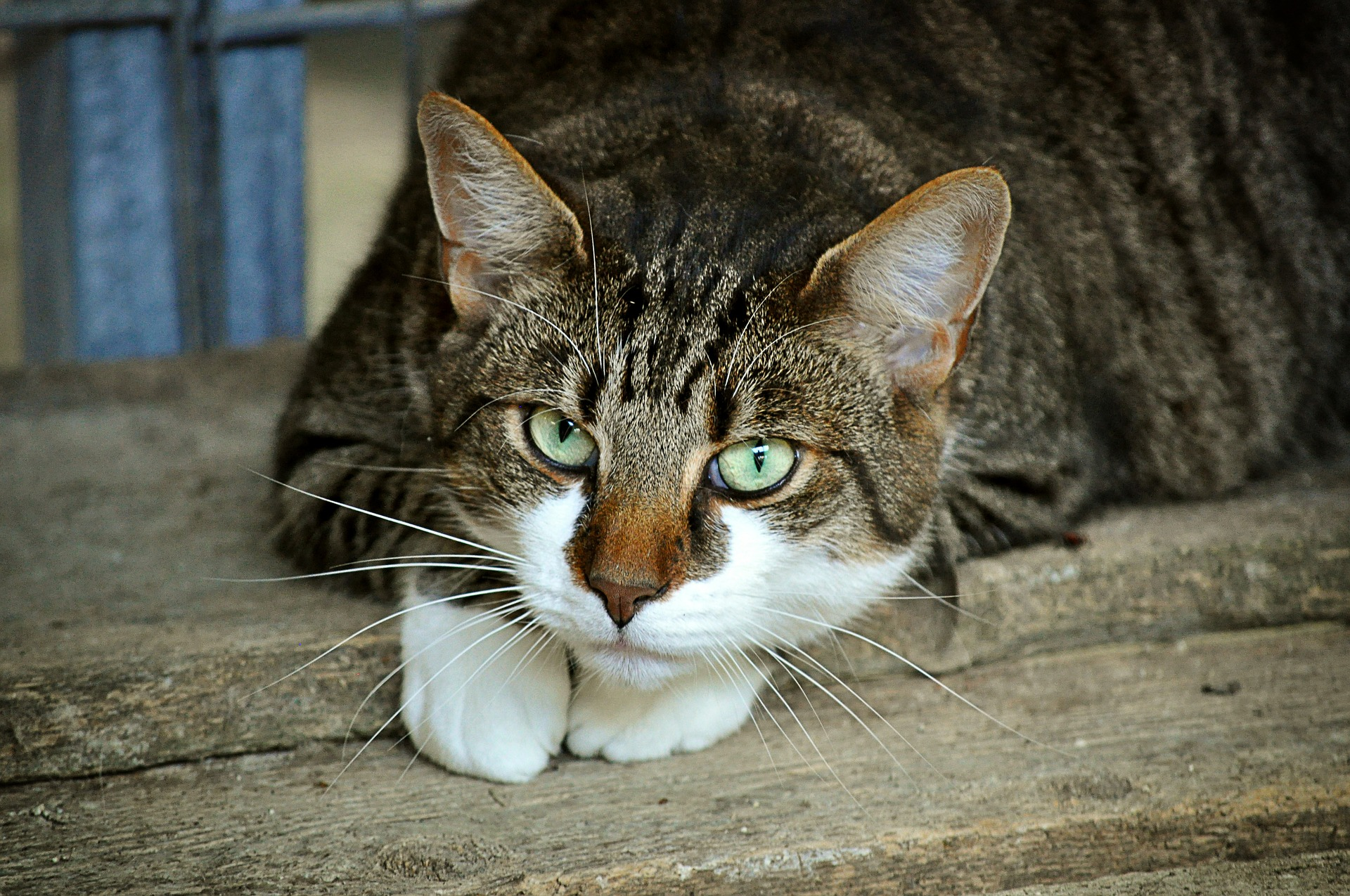 Animaux ferme chat