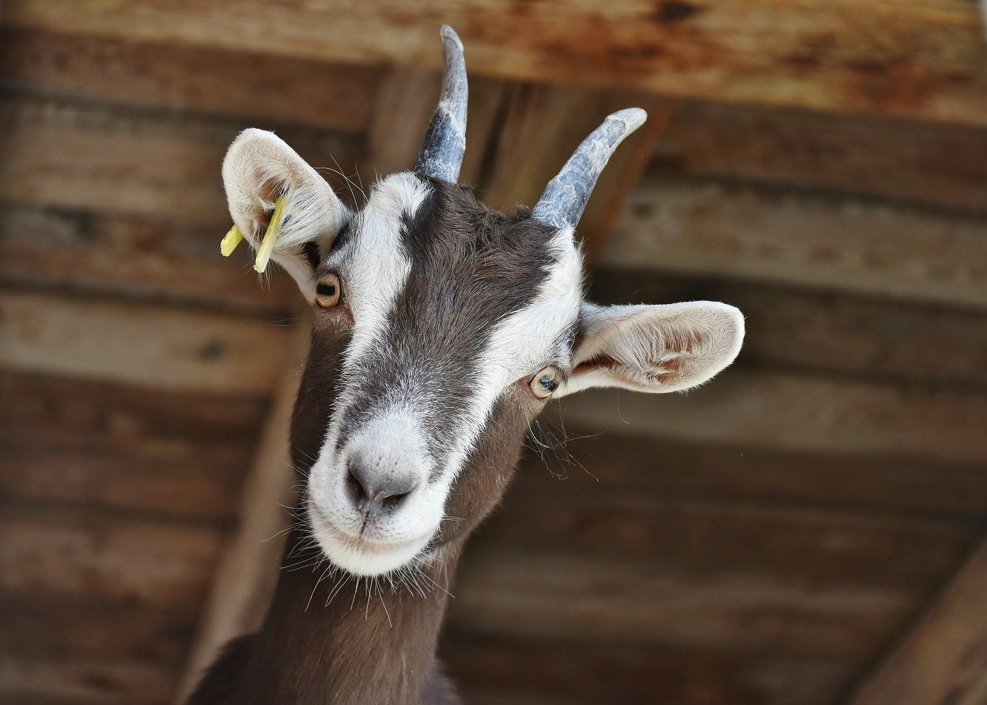 Animaux ferme chèvre