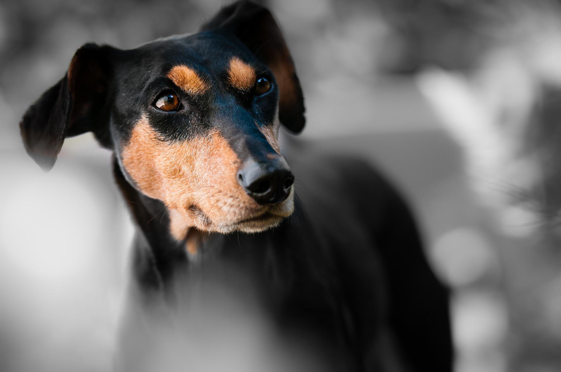 Animaux ferme chien