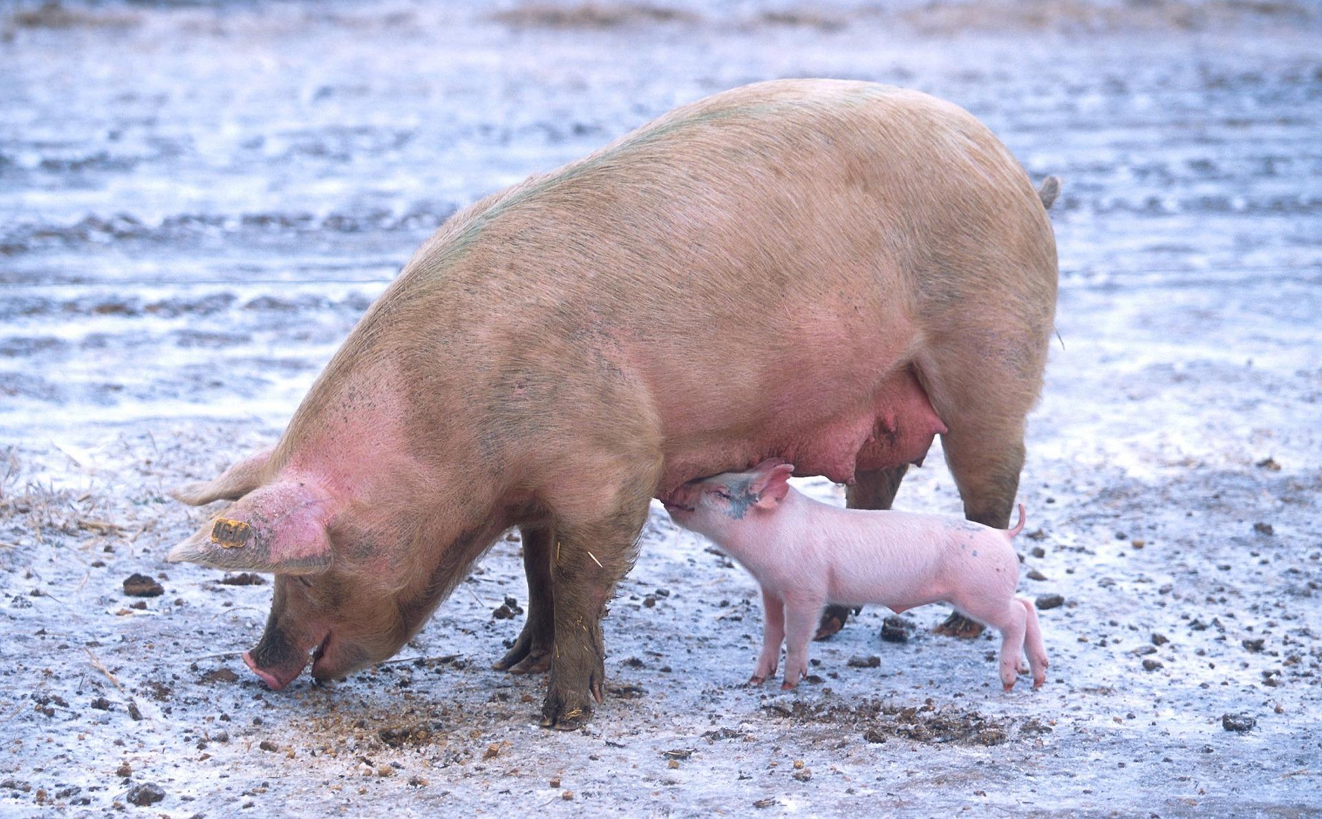 Animaux ferme cochon