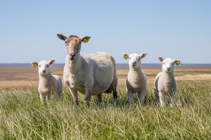 Animaux ferme mouton