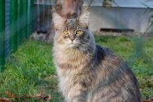 Chat yeux jaunes 3